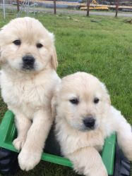 Spectacular Golden Retriever puppies