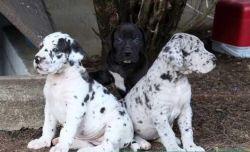 Excellent Great dane pups Ready ,