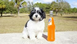 the perfect forever home for our adorable Havanese pup