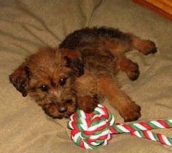 Gorgeous Irish Terrier Pups