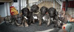 Austonley Irish Wolfhounds have 2 Male puppies