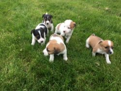 Stunning Miniture Jack Russell Pups for sale