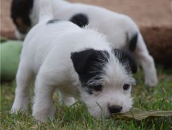 Jack Russell puppies, short legged type. Mom and dad family pets with