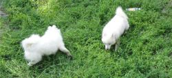KC Registered Japanese Spitz puppies. 2 girls and 1 boy available. Mic