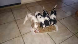 king Charles puppies for sale,