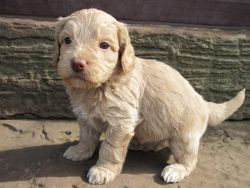 CKC Registered Labradoodle puppies for sale
