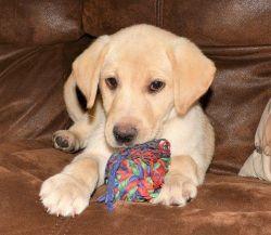 Affectionate Labrador Retriever Puppies