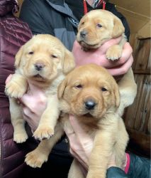 Stunning Labrador Retriever Puppies