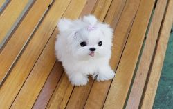 Lovely Maltese Puppies Available.