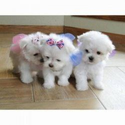 Affectionate Kc Reg Maltese Puppies Ready Now