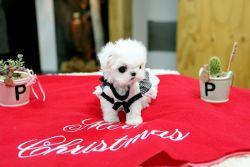 AKC Micro Teacup Maltese puppies