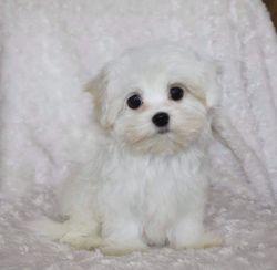 Adorable Teeny Tiny Pure White Maltipoo