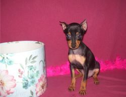 Cute Miniature Pinscher puppies for Sale