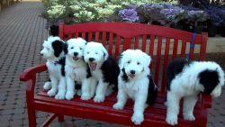 Beautiful Akc Registered Old English Sheepdog Pups