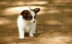 Black And White Papillon Dog Puppy