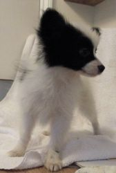Beautiful Well Marked Papillon Puppies Kc Reg for sale