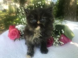 Gorgeous Persian kittens CFA registered