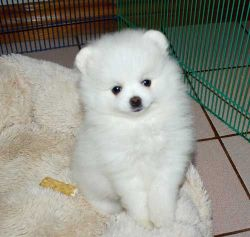 Micro Tea Cup Pomeranian Puppies Available For Re-homing.