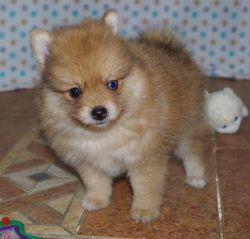 New litter of Pomeranian puppies Puppies