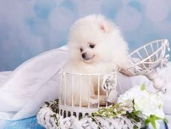Stunning male and female Pomeranian Puppies for sale