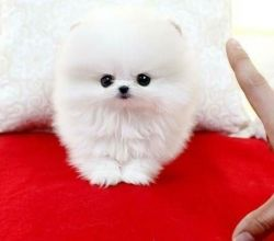 Cute small Pomeranian puppies for sale