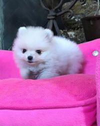 Gorgeous Micro Teacup Pomeranian Puppies