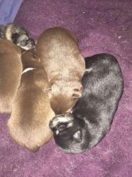Chocolate Pomsky Pups for sale