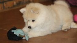 Healthy Pomsky puppies with papers for sale