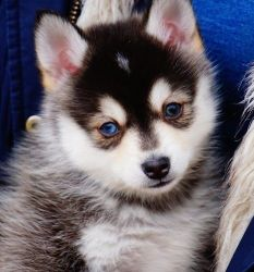 grateful Pomsky Puppies Available