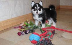 CKC Pomsky Puppies For Sale