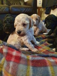 Adorable AKC Poodle puppies