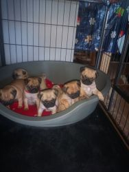 Lots of Loveable Pug Puppies