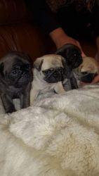 Beautiful Kc Platinum & Fawn PUG Puppies