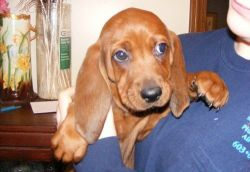 Well Socialized Redbone Coonhound Puppies