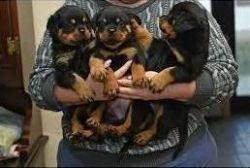 Rottweiler puppies ready for adoption.
