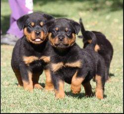 Show Standard Chunky Rottweiler Pups