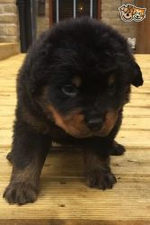 Huge Old Type Rotti Puppy for sale