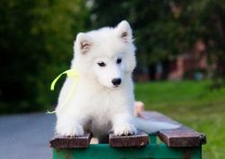 Cute male and female Samoyed puppy for sale
