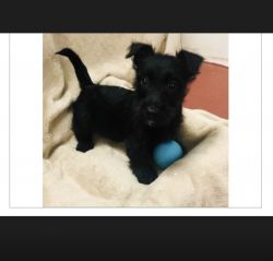 Four month old Scottish terrier