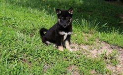 Beautiful Shiba Inu Puppies (Various Colors)