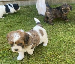 Beautiful Shihpoo Puppies. Ready Now .