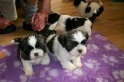 Beautiful Shih tzu puppies ready