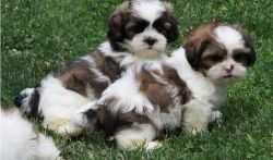 AKC Registered Shih Tzu Puppies for sale.