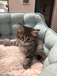 Siberian kittens.