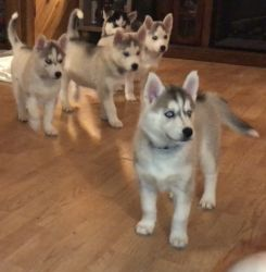 Beautiful AKC Reg, Siberian Husky puppies