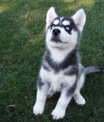 Adorable Siberian Husky puppies ready for Sale.