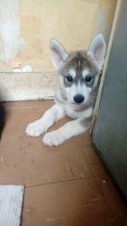 Siberian Husky Puppies (xxx) xxx-xxx5