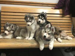 Akc Reg Siberian Huskies for sale