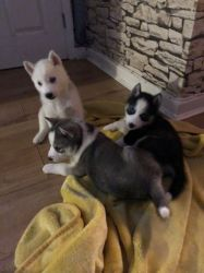 Amazing AKC Siberain husky Puppies