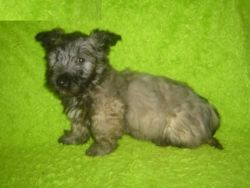 Skye Terrier Dogs and Puppies for sale